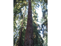 An amazing redwood at Stow Grove Park.