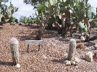 These cacti look fuzzy but don't be fooled!