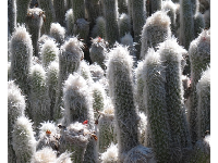 I love these furry cacti!