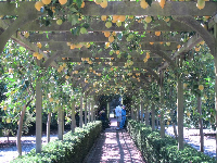 I had never seen a lemon arbor before. What a wonderful idea!