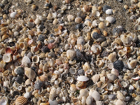 An abundance of shells on the sand.