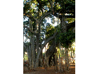 Banyan tree at Kapiolani Park. Photo by William Crowe.