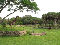 Giraffe and beautiful open space at the safari ride.
