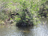 Anhinga bird in a tree.