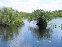 Mangrove trees in the water.