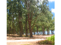 You can camp at Waimanalo Bay Recreation Area, amongst the ironwood trees.
