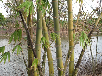 Bamboo with lake backdrop.