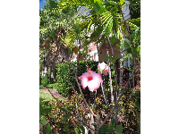Hibiscus and palms on University Blvd.