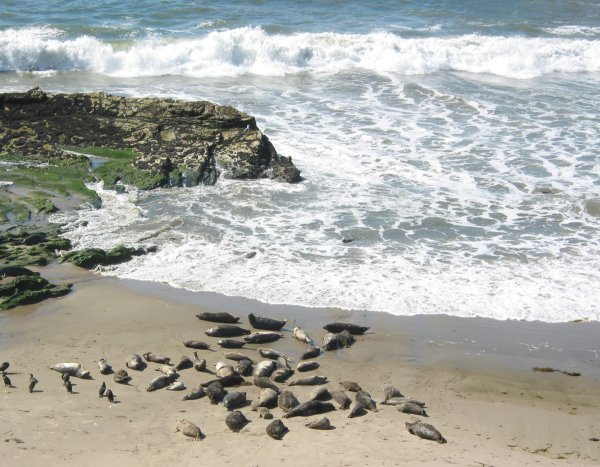 Carpinteria Seal Rookery, and Clifftop Walk, Santa Barbara California