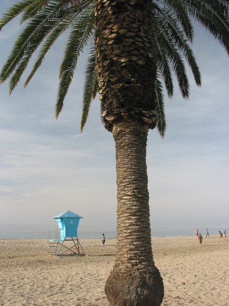Gorgeous, healthy California palm, with beach in background.