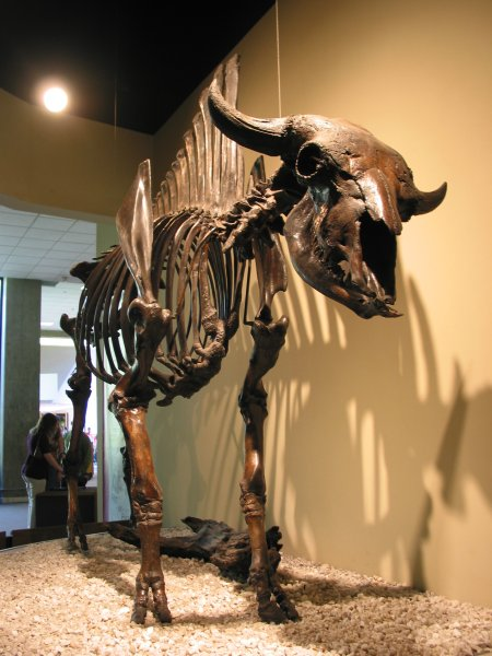 Fossilized bison.