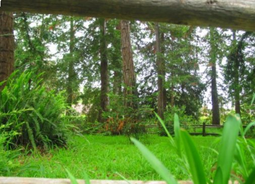 View of the redwoods through the fence at Stow Grove.