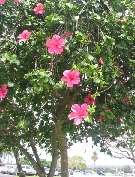 A hibiscus plant formed into a tree rather than a bush- what a delight!