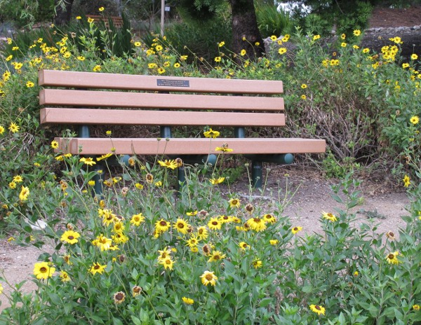Bench amongst yellow flowers.
