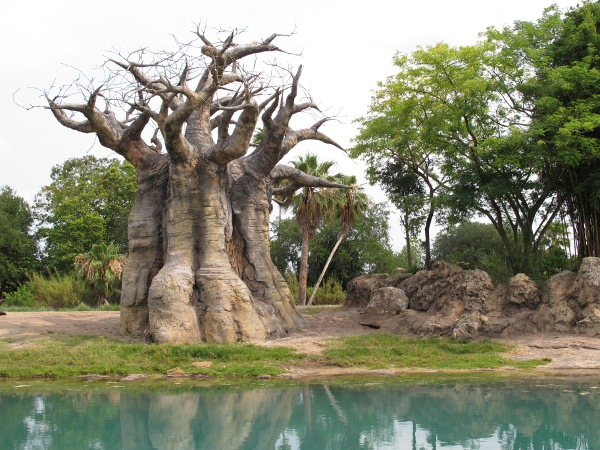 Another bizarre and wonderful tree, on the safari ride.