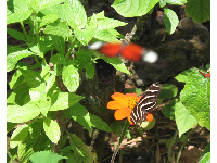 Red butterfly, stripey butterfly, and orange flower.