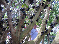 Jaboticaba tree!