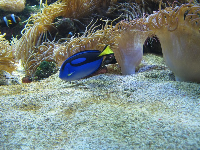 Regal tang fish.