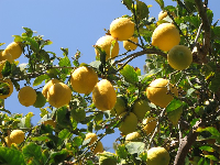 I love the lemons hanging from trees against the blue sky!