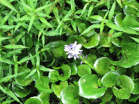 Lilac-colored flower in the lettuce.