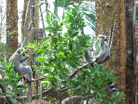 Ring-tailed lemurs in the Madagascar area.