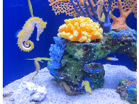 Yellow seahorses in a beautiful exhibit.