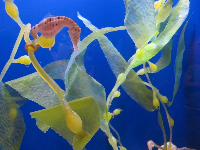 A seahorse grips on to kelp.