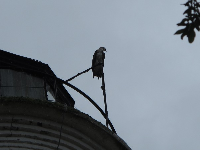 Fish Eagle atop the lighthouse!