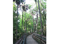 Tall trees along the boardwalk.