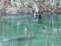 Manatees resting in the water on a cold day.