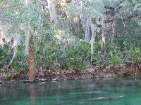 Two manatees rest in the glorious spring.