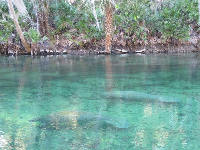 It's a joy to see manatees in the clear water.