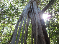 Strangler Fig tree on the beach hammock trail.