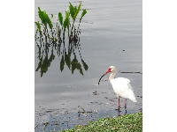 Ibis standing by the pond.