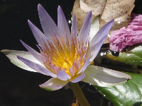 Water lily in the garden.