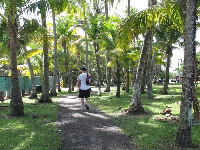 Grove of coconut trees by the water.