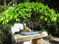 Weeping Fig Bonsai.