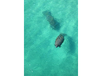Two manatees seen from the pier, August 2015!