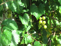 Green grapes on a vine.
