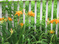 Orange flowers and fence.