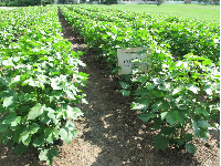 Rows of cotton.