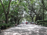 Canopy of trees in Forsyth Park.