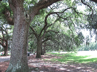Row of oak trees in Forsyth Park.