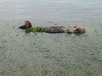 Closeup of an adorable sea otter resting in the sea grass.