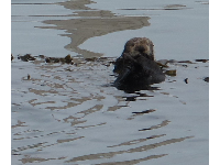 I love this guy! A sea otter poking his head out of the water.