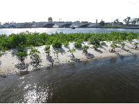 Baby mangrove trees at the South Cove Natural Area.