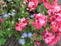 Mix of blue daisies and pink flowers.