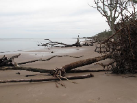 Huge driftwood on the shore.