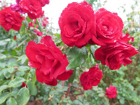 Red roses, so full and beautiful.