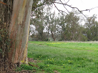 Yellow flowers and Eucalyptus tree, along the trail.